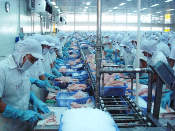 Pangasius processing in China low cost competition in seafood